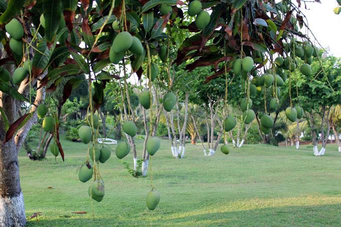 29-tak-rastut-mango