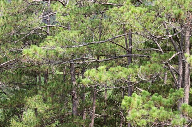 далат сосновый лес