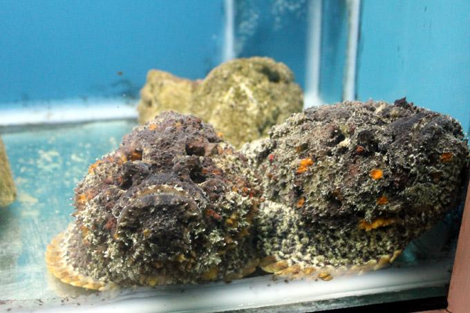 рыба-камень океанариум