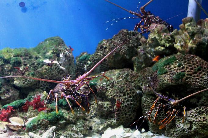 живые омары